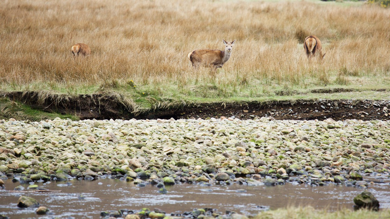 Deer at Lochranza, Arran