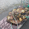 Scallops awaiting their fate