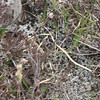 Adder on Suilven - heading for Dave's trousers !