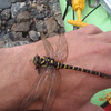 These guys eat midges.. Golden-ringed Dragonfly