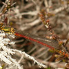 Large Red Damsel Fly, Eigg.